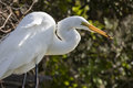 Great egret eating an anole florida ardea alba with in its beak Royalty Free Stock Images