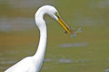 Great Egret With Fish Royalty Free Stock Photography