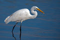 Great egret with fish in beak Stock Image