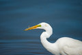 Great egret with fish in mouth Royalty Free Stock Photo