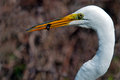 Great egret with fish in mouth Royalty Free Stock Images