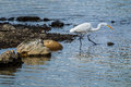 Great Egret fishing in the Sacramento River Royalty Free Stock Photo