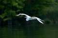 Great egret in flight a against a summer background Royalty Free Stock Photo