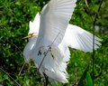 Great egret juveniles ardea alba clamping down on other bill Stock Photo