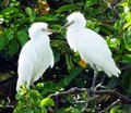 Great egret juveniles ardea alba facing each other with bills touching Royalty Free Stock Photography