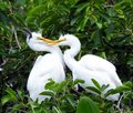 Great egret juveniles ardea alba juvenile perched in a tree grabs the other juvenile's bill Royalty Free Stock Photo
