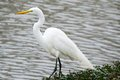 Great Egret Looking for Fish Next to Water's Edge Stock Images