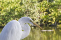 Great Egret in Marsh Royalty Free Stock Photo