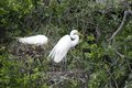 Great egret nests two egrets ardea alba on their Stock Photography