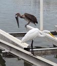 Great egret and pelican a a waterside in florida Stock Photo