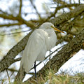 Great egret is perching on the tree Stock Photos