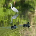 Great egret photo of a hunting for fish taken on the scenic maumee river in northwest ohio Stock Images