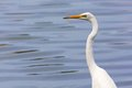 Great egret portrait distibuted across most of the tropical and warmer temperate regions of the world the ardea alba is also known Stock Image