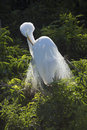Great egret preening breeding plumage in a Florida rookery. Royalty Free Stock Photo
