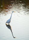 Great egret reflections a fishing in a pond on the chesapeake bay in maryland Stock Images