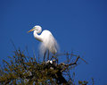 Great egret in rookery onditions are crowded a florida agreat stands on the nest of the wood stork sitting on her eggs wood storks Royalty Free Stock Photography