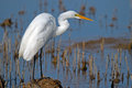 Great egret standing in the marsh Royalty Free Stock Photos