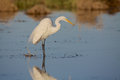 Great egret a standing in shallow water Stock Photos