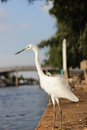 Great egret standing side river photo stock Royalty Free Stock Image