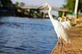 Great egret standing side river photo stock Royalty Free Stock Photos