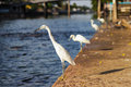Great egret standing side river photo stock Stock Photography