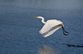 Great Egret Taking to Flight Royalty Free Stock Photo