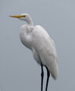 Great egret a waterside in florida Stock Photo