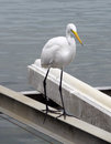 Great egret a waterside in florida Stock Photography