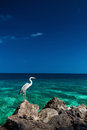 Great egret white bird with long legs standing on rock over oc next to ocean Royalty Free Stock Image