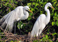 The great egret white photographed in wild wetlands of south florida Stock Image