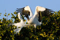 Great Egret and Wood stork fighting Royalty Free Stock Photo