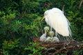 Great Egret (Ardea alba) Royalty Free Stock Photo