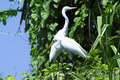 Great Egrets Stock Images