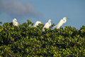 Great Egrets in a Bird Nesting Ground in Everglades Florida Royalty Free Stock Photo