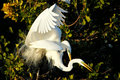 Great egrets mating Royalty Free Stock Photo