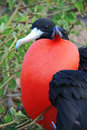 Great Frigate Bird during its mating ritual Royalty Free Stock Image