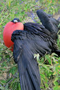 Great Frigate Bird during its mating ritual Stock Photo