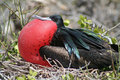 Great frigatebird balloon display, Galapagos Stock Photos