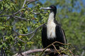Great frigatebird female, Galapagos Stock Images
