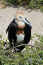 Great frigatebird young, Galapagos Stock Photo