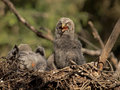Great gray owl baby Royalty Free Stock Photo