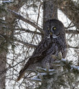 Great Gray Owl Royalty Free Stock Photo