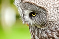 Great Gray Owl close up Royalty Free Stock Photo