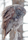 Great gray owl portrait of a preening this is a very large of the boreal forest its length is at least cm in and has a Stock Photography