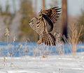Great gray owl portrait of a taking off moments after a snow plunge this is a very large of the boreal forest its length is at Stock Image