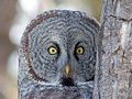Great gray owl portrait of a this is a very large of the boreal forest its length is at least cm in and has a wingspan of Royalty Free Stock Photo