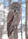 Great gray owl portrait of a this is a very large of the boreal forest its length is at least cm in and has a wingspan of Stock Images