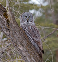 Great gray owl portrait of a this is a very large of the boreal forest its length is at least cm in and has a wingspan of Stock Photo