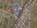 Great gray owl portrait of a this is a very large of the boreal forest its length is at least cm in and has a wingspan of Stock Image