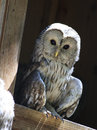 Great Gray Owl (Strix nebulosa). Stock Images